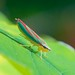Leafhopper - Graphocephala picta
