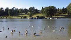 Dunorlan Park (Nigel Musgrove-2.5 million views-thank you!) Tags: park england geese kent wells goose tunbridge greylag dunorlan