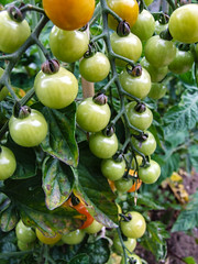 Summer fruits (Tony Shertila) Tags: england vegetables fruit garden pepper europe britain cucumber tomatoes greenhouse grapes produce wirral merseyside bromborough homeeuropebritainenglandwirralmerseysidebromboroughgardenproducevegetablesgreenhousepeppertomatoesgrapesfruitcucumbergreenhome