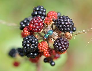 Blackberry Fly - HFDF! [Explored!]