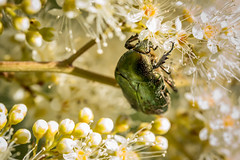 Rose Chafer (Cetonia aurata) (Anders Widlund) Tags: bug insect makro insekt cetoniaaurata flowerbeetle grsgrnguldbagge cetoniinae guldbagge flowerchafer rosechaferr