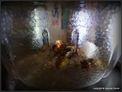 Hornissen (Vespa crabro) (Jolanda Donn) Tags: fauna august echte wespen insekten hymenoptera insecta hornisse vespidae vespinae vespacrabro hautflgler faltenwespen august2015 nikoncoolpixp610 20150826