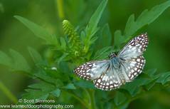Tropical Checkered-Skipper (sjsimmons68) Tags: animals butterfly fav insectsandspiders pyrgusoileus tropicalcheckeredskipper lakejesup seminoleco fllocations marlbedflatslakejesupca