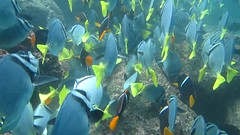 a lot of Razor Surgeonfish + king Angelfish / muchos Pez Chancho + Pez Bandera (raimundo hamilton) Tags: diving galapagos canond30 buceo