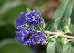 Bartblume / bluebeard (Caryopteris x clandaensis) (HEN-Magonza) Tags: flowers nature flora natur blossoms blumen blüten bluebeard bartblume botanischergartenmainz mainzbotanicalgardens caryopterisxclandaensis