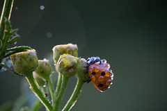 Sun bath after the rain (Michel Couprie) Tags: light sun flower macro nature water rain animal fauna canon insect eos droplets flora focus dof bokeh flare ladybug michel couprie