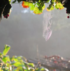 Early Morning (msganching) Tags: morning autumn light vineyard spain spiderweb earlymorning vine cobweb galicia grapes caminodesantiago caminoportuguese