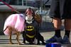 Batman & Girlfriend (swong95765) Tags: city pink dogs halloween costume dress meeting batman interest encounter batdog