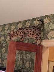 IMG_0865 (Pogniforous1) Tags: cat maine savannah paka islesboro