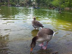 """Patos en el lago del Parque de la Ciudadela • <a style=""""font-size:0.8em;"""" href=""""http://www.flickr.com/photos/78328875@N05/22656301394/"""" target=""""_blank"""">View on Flickr</a>"""