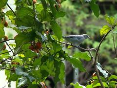Passaredo (Sereiazinha Si) Tags: brazil verde green bird planta animal brasil fruit sopaulo pssaro ave praa sorocaba fruto alimentao comportamento sanhaocinza bunchosiaarmeniaca tangarasayaca caferana