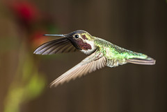 Hummingbird (Michael Zampelli) Tags: flying photo backyard hummingbird sharp