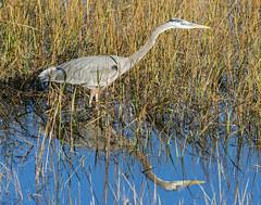 Great Blue Heron_19 (SamOphoto2011) Tags: california birds canon sandiego greatblueheron ardeaherodias robbfield 7dmarkii 14iiteleconverter 100400lmarkii