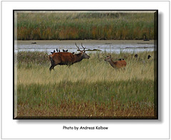 Dar 2015 (065) (Vogelfoto69) Tags: germany born nationalpark natur region wald ostsee prerow barth reddeer ahrenshoop leuchtturm jgermeister deerhunting darss wildschwein zingst bodden mecklenburgvorpommern windpark 2015 wiek dars naturschutz naturfoto rothirsch brunft 25jahre seeadler kernzone spieser vorpommersche boddenlandschaft hirschbrunft fischlanddarszingst darserort natureum naturfilm rothirsche kahlwild andreaskalbow darserarche 20ender