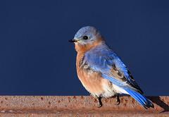 Bluebird (snooker2009) Tags: morning bird nature sunrise pennsylvania song wildlife bluebird eastern songbird