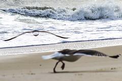 Seagulls Take Flight, Assateague Island Maryland (Virginia Photographer Heather Grow) Tags: ocean blue sea brown seagulls bird beach birds island wings sand flight maryland wave foam take assateague