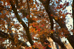 Japanese Maple (Danielle_M_Bedics) Tags: autumn trees sky tree fall nature leaves maple bokeh branches arboretum foliage japanesemaple bark trunk mapletree naturephotography autumnwhimsy losangelesarboretumandbotanicgarden