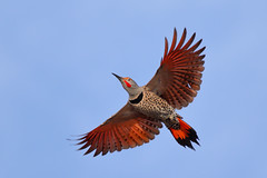 Red! (bmse) Tags: red canon wings chica flight l f56 bolsa northern flicker salah 400mm wingsinmotion 7d2 bmse baazizi