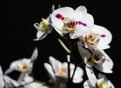 Orchid Nikon d7100 50mm 1.8 test (MADCAP40) Tags: flowers test orchid flower 50mm nikon 50mm18 d7100