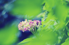 The lovely flowers embarrass me, They make me regret I am not a bee... (Paulina_77) Tags: park pink blue trees summer sunlight plant blur flower color detail green nature colors leaves closeup vintage garden season lens 50mm prime flora nikon colorful soft colours dof bright blossom bokeh outdoor vibrant background peekaboo branches mother vivid blurred depthoffield mount german greens ethereal m42 bloom romantic greenery buds dreamy shallow colourful shrub pentacon f18 sunlit delicate depth tender gentle selective subtle blooming 50mm18 focusing 5018 d90 bloomy pentacon50mmf18 bokehlicious pentacon50mm nikond90 multicoated pentacon50mm18 pola77