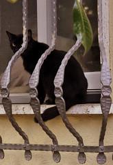 Sospetto (Guido Giachetti) Tags: cats black window animals cat florence chat curves finestra firenze gatto nero gatti animali hostile sesto fiorentino ostile