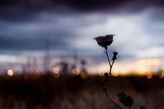 nightflower (Christian Collins) Tags: night flower nightflower noche flor silhouette canon t2i efs24mm michigan midland twilight tardes atardecer sunset