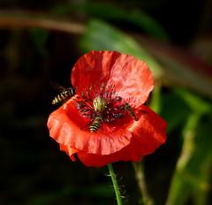 Ansturm auf die letzte (isajachevalier) Tags: blte blume insekt mohn pflanze natur schsischeschweiz elbsandsteingebirge sachsen panasonicdmcfz150