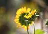 Sunflowers (mclcbooks) Tags: flower flowers floral sunflower sunflowers backlight backlit backlighting bokeh fall denverbotanicgardens colorado