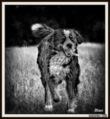 High Definite Max (patrick.verstappen) Tags: max hdr shot bw dog pet animal ipernity ipiccy image photo picassa pinterest picmonkey pat yahoo gingelom google flickr facebook grass bernersennen sigma autumn september nikon d7100