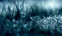 Moonlight dancers (GillK2012) Tags: nature grass dew light bokeh backlight helios44m dof shallow depthoffield