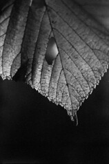 0025praktica-oreston-tmax3200at1600-d76-rev (Moryc Welt) Tags: leaf autumn epsonv600 kodaktmax3200 asa1600 d76 homemadesoup iscanforlinux gimp grain highspeed expired oreston50 praktical closeup