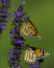 Monarch_SAF3569-1 (sara97) Tags: copyright2016saraannefinke flyinginsect missouri monarch monarchbutterfly nature outdoors photobysaraannefinke pollinator saintlouis towergerovepark butterfly danausplexippus insect