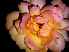 Rose ,75216/7421 (roba66) Tags: blumen blume blten flower blossom roba66 fleur flori flor flora flores bloem plants pflanzen colores color colour coleur makro macro closeup farbe rose