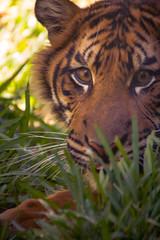 Crazy Stuff (Oddernod) Tags: daytime tamron sandiegosafaripark canon70d outdoor zoo tamron70300 sandiego animal tiger bigcat cat sumatrantiger