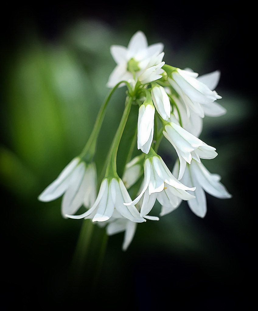 The World S Best Photos Of Nature And Snowbells Flickr Hive Mind