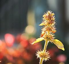 Autumn lights (sabrina. G) Tags: herbst licht makro blte garten