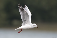 Black headed gull (Shane Jones) Tags: blackheadedgull gull bird birdinflight wildlife nature nikon d500 200400vr tc14eii