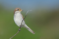 Red-backed Shrike (redmanian) Tags: redbacked shrike butcher bird east sussex