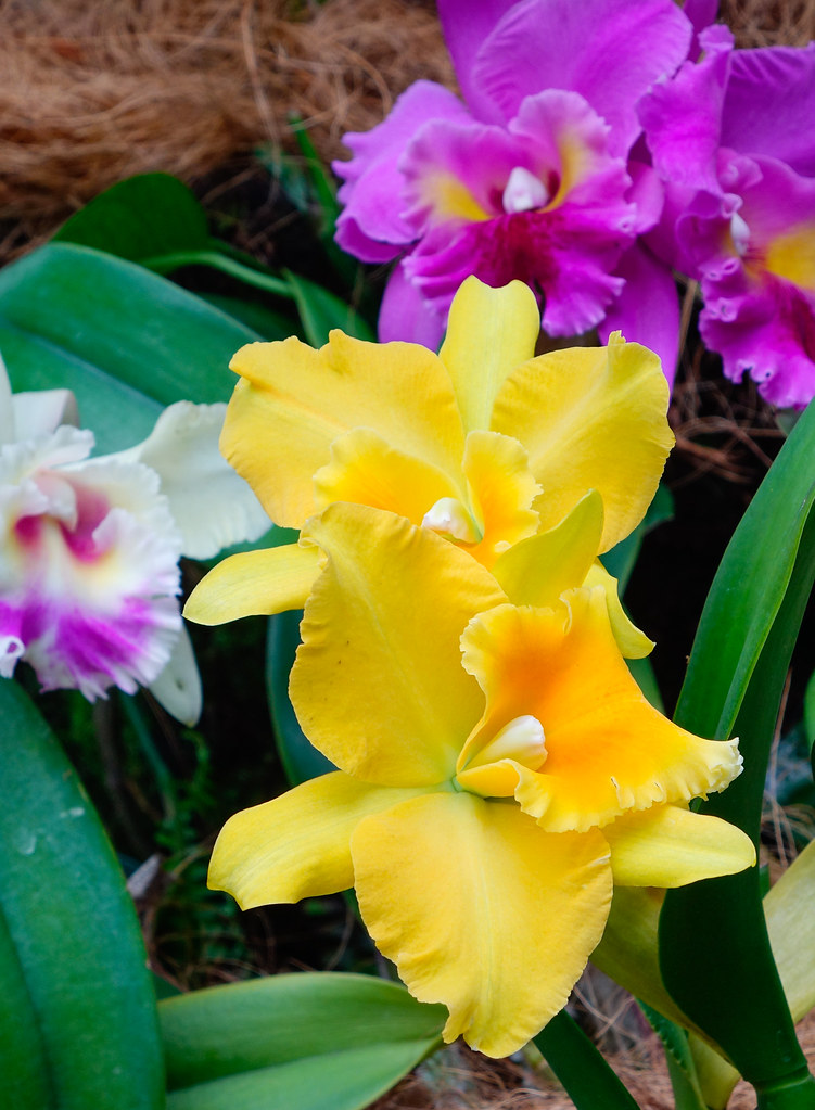 The world 39 s best photos of bunting and pink flickr hive mind for Orchidea cattleya