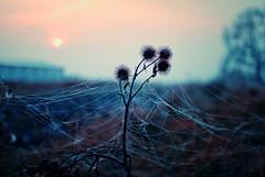 silvery lace (ewitsoe) Tags: spiderweb web strands field plant ewitsoe nikond80 50mm morning frozen fall autumn poland wlodawa polska