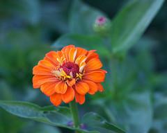Orangey..... (zoomclic) Tags: canon closeup colorful 5dmarkii ef200mmf28lusm flower foliage orange outdoors green red dof dreamy bokeh nature zinnia plant zoomclicphotography saveearth