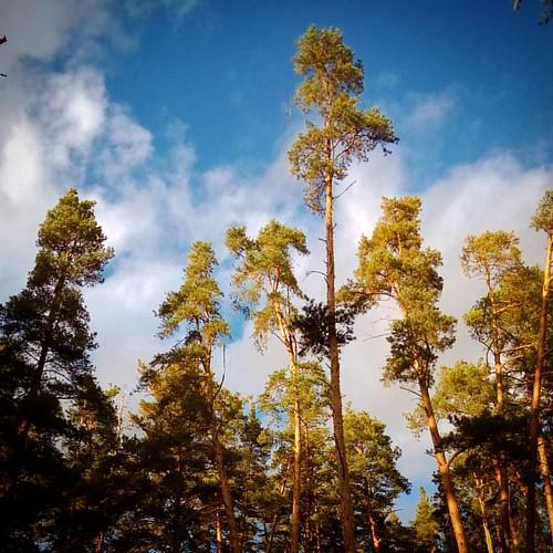 Борисоглебские сосны #plants #forest #sky #autumn #Борисоглеб