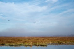 Out of the Fog (Wild Bill in MN) Tags: sandhillcrane gruscanadensis fog marsh morning wild bird sony a77m2 sal70400g migration
