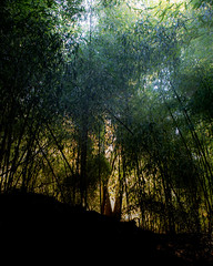 Afternoon in the Bamboo garden (jfl1066) Tags: autumn2016 canoneos5dmarkiv centraljersey newjersey october2016 middlesexcounty