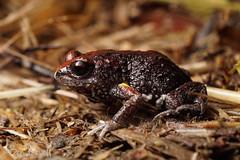 Pseudophryne major (benrevell86) Tags: pseudophryne major pseudophrynemajor frog australianfrogs greatbrownbroodfrog
