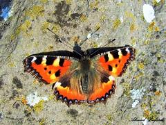 Butterfly 1053 (+360000 views!) Tags: butterfly borboleta farfalla mariposa papillon schmetterling