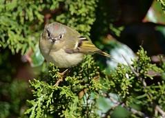 Ruby-crowned Kinglet (Explored 10/20/2016) (JDA-Wildlife) Tags: birds nikon nikond7100 tamronsp150600mmf563divc jdawildlife johnny jonesbeachliny kinglets kingletrubycrowned rubycrownedkinglet explore explored