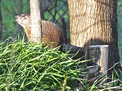 Mr. And Mrs. Groundhog (stillphototheater) Tags: bryantiowa groundhog stillphototheater woodchuck
