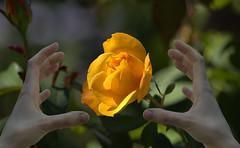 A Mellow Yellow Flower (swong95765) Tags: flower rose hands grasp bokeh beautiful yellow mellow desire want reaching