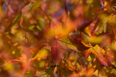 on a sunny day (triple exposure) (simo m.) Tags: tripleexposure foliag leaves autumn fall